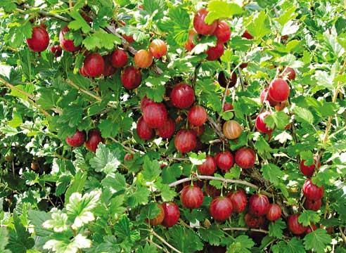 Лучшие сорта ягодных кустарников